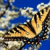 two tailed swallowtail butterfly image